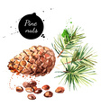 Hand drawn watercolor painting of pine nuts vector image vector image