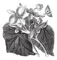 Begonia flower vintage engraving vector image vector image