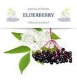 elderberry stripe label with twig berries leaves vector image vector image