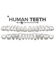 human teeth set dental health incisor vector image vector image