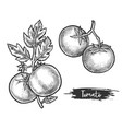 couple tomato fetus on stem sketch plant vector image