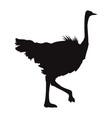 ostrich birds of savannah african fauna wildlife vector image