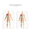 Male and female muscle and bony system charts with vector image