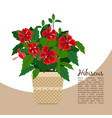hibiscus plant in pot banner vector image vector image