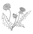dandelions botanical lineart coloring template vector image vector image