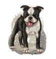 dog breed boston terrier color portrait vector image