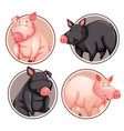 set of pig on circle template vector image vector image