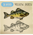 european yellow perch sketch fish seafood vector image vector image