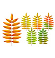 Colorful autumn rowan leaves vector image vector image