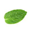 fresh mint leaf of menthol vector image