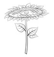 sunflower with leaves vector image