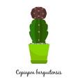 copiapoa barquitensis cactus in pot vector image vector image