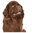 Newfoundland hound breed vector image vector image