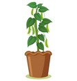 a bean plant in pot vector image vector image