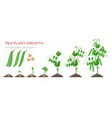 pea plant growth stages infographic elements in vector image vector image