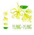 beautiful curly blossom branch of ylang-ylang or vector image
