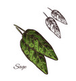 sage seasoning plant sketch plant icon vector image vector image