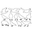 set of different pigeons vector image vector image