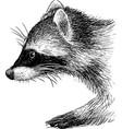 raccon vector image