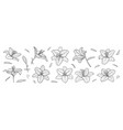 set black and white lily isolated on vector image