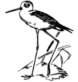 bird black-winged stilt vector image vector image
