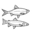 hand drawn roach fish vector image vector image