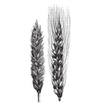Winter wheat wheat vintage engraving vector image vector image