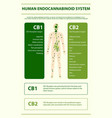 human cannabinoid system vertical infographic vector image vector image
