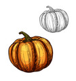 pumpkin sketch vegetable icon vector image vector image