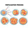 Diagram of fertilisation process vector image vector image