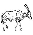 oryx drawing on white background vector image vector image