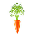 carrot photo-realistic isolated vector image