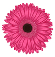 pink gerbera isolated on white background vector image vector image