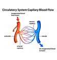 Circulatory System - Capilary blood flow vector image vector image