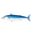 Atlantic mackerel vector image