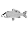 wild common carp fish black and white vector image