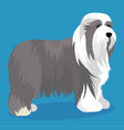 bearded collie dog vector image vector image
