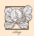 hand drawn cabbage vector image vector image