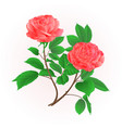 roses flower pink twig with leaves nature vector image vector image
