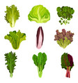 collection of fresh salad leaves radicchio vector image