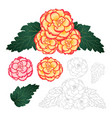 begonia flower picotee sunburst and first love vector image