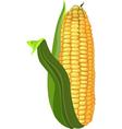 ripe corn vector image