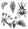 apple blossom weevil vector image vector image