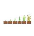 stages wheat seed growth vector image