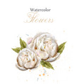 watercolor white peonies isolated vector image vector image