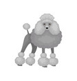 poodle standing in rack dog with gray fluffy coat vector image vector image