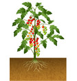 cherry tomato plant with root under the ground vector image