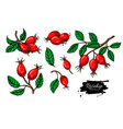 rosehip drawing set isolated berry branch vector image vector image