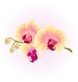 beautiful phalaenopsis orchid yellow stem vector image vector image