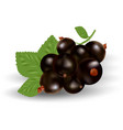 realistic black currant with leaves vector image